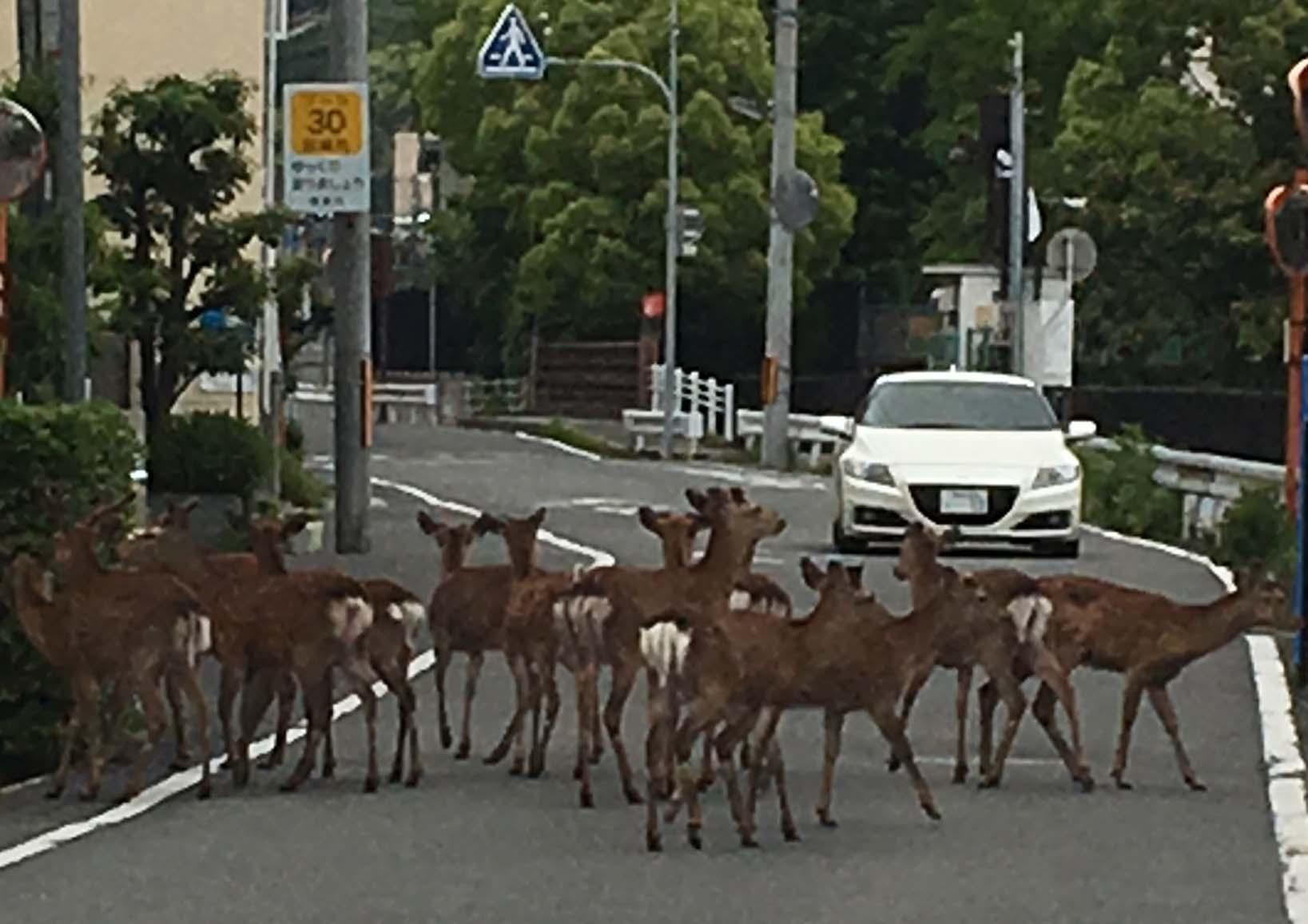 下山する鹿